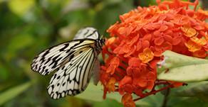 水無月、6月に入りました。本日はサンダンカというお花をご紹介。小さなお花の集合体なので大きなお花に見えます。沖縄フルーツランドのトロピカル王国にも咲いております。テーマパーク全体の色が映えますね。