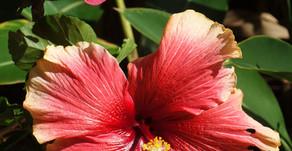 沖縄をイメージする代表格のお花ハイビスカス。OKINAWAフルーツらんどの園内でも大きくて素晴らしい花を見る事ができます。花言葉は「新しい恋人」トロピカル王国物語と共にぜひ楽しんでくださいね。