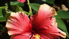 沖縄のお花といえばハイビスカスですね。OKINAWAフルーツらんどでも元気に咲いています。トロピカル王国物語を楽しみながらお写真を撮るのもオススメです!また本島北部地域では桜祭りも行われております。