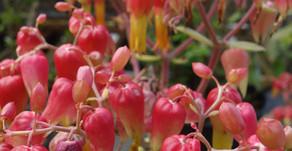 沖縄フルーツランドで咲いているセイロベンケイ草のお花。ハワイご出身のお客様が昔話をしてくれました。フルーツや植物のお話も似ていますね。名護市は北海日本ハムファイターズプロ野球キャンプも行われております