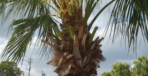 沖縄の街路樹といえばヤシ。実は食べ物、後の部分は繊維として服やロープにしたり全てが素材として利用される素晴らしい木なんです。テーマパークフルーツランドのトロピカル王国物語の中でも見ることができます。