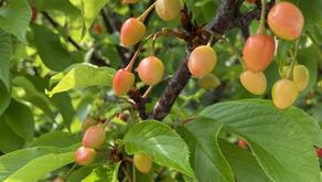 3月の春休みのシーズンに入りました。ポカポカ陽気が続いております。沖縄の桜の木には、さくらんぼが実ってます。沖縄フルーツランドの果物たちも夏に向けどんどん成長していきます。