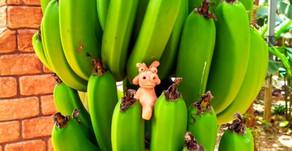 沖縄フルーツランドで育ったバナナ。栄養たっぷりです。トロピカル王国物語を体験していると見ることができます。フルーツカフェのスイーツにも入っております。皆様もテーマパークにご来園の際はご賞味下さい。