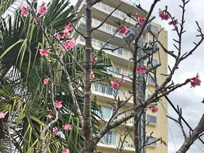 桜の季節がやってきました。リエッタ中山の桜はまだ2分咲きですが日に日に咲いていきます。2月はプロ野球球団のキャンプインです。名護市は北海道日本ハムファイターズのキャンプ地です。里耶塔中山旅館名護飯店