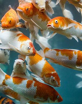 Aquaponics-fish1.jpg