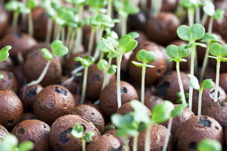 Micro herbs grown in Aquaponics
