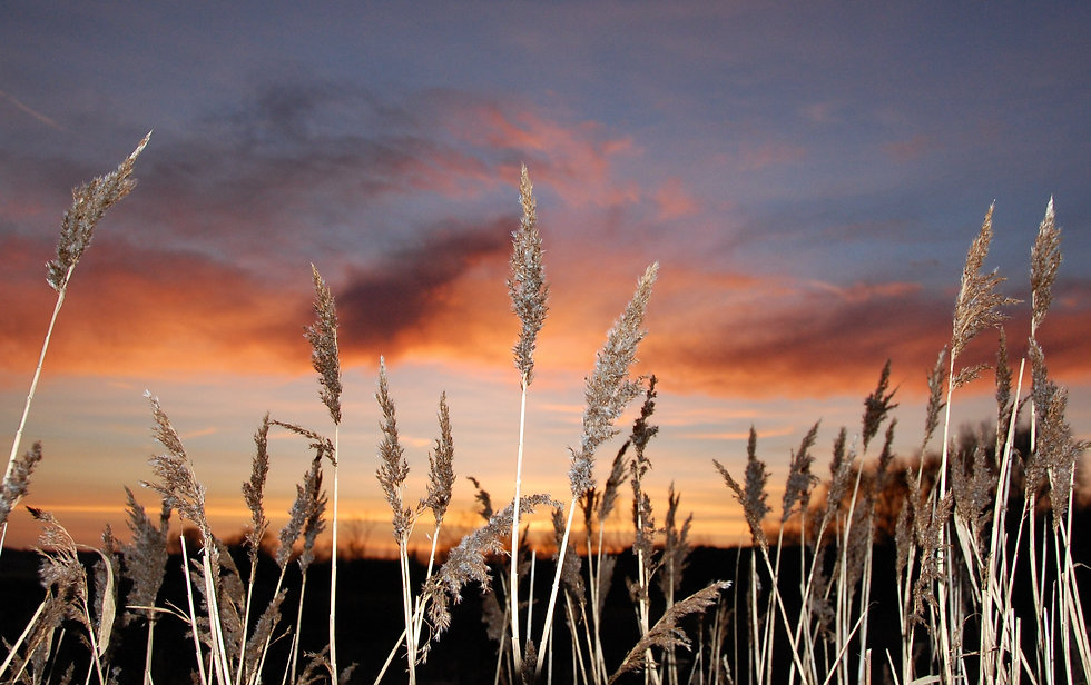 reedbed-at-sunset-2-1357543.jpg