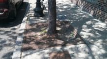 Maintenance on Tree Surrounds Allows for Increased Pedestrian Mobility