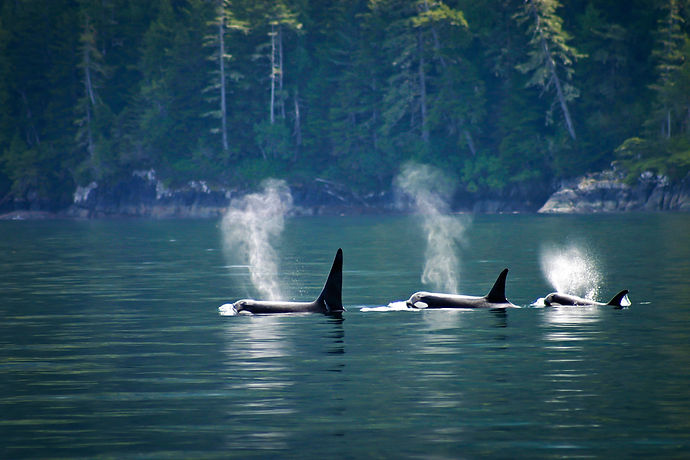 Killer whales: three orcas in a row at T