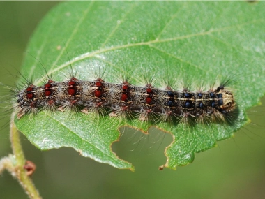 The Gypsy Moth and Covid-19 Corona Virus