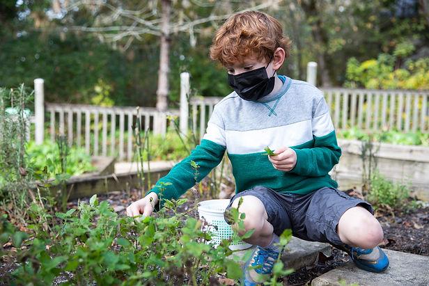 Student harvesting in a garden
