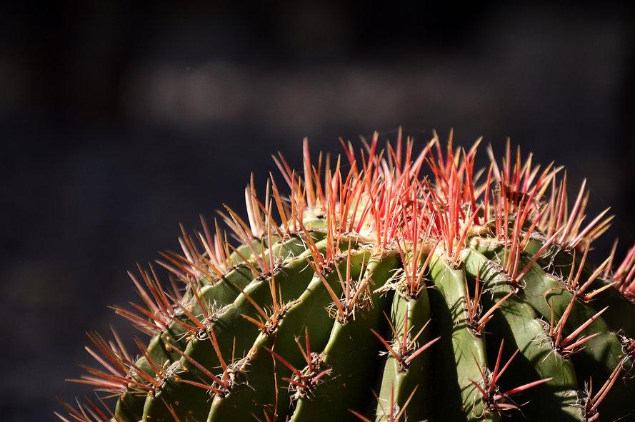 close-up-shot-of-cactus-2463397.jpg