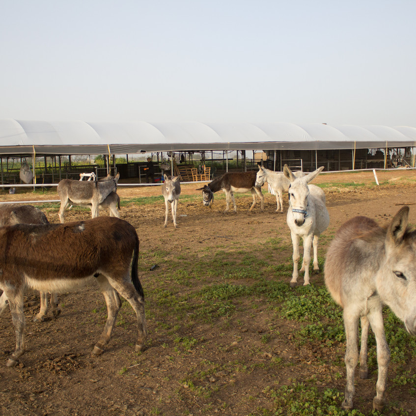 Lucy's rescue donks enjoying the great outdoors (stables in the background)