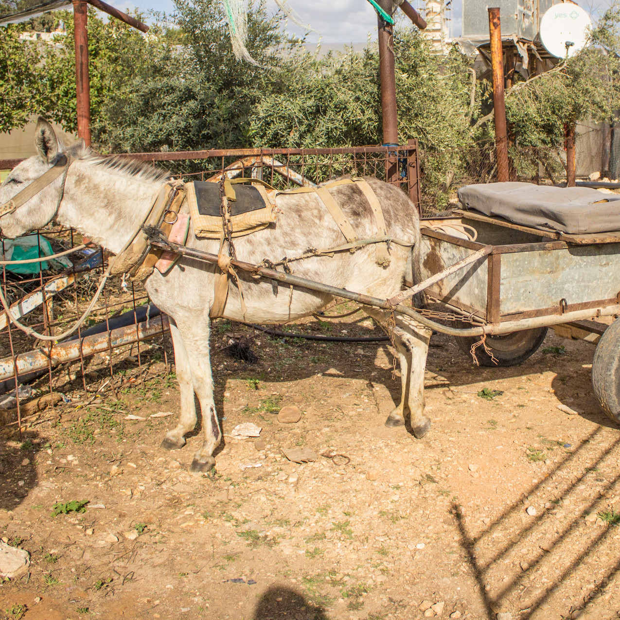 Pregnant donkey made to pull a cart at outreach clinic in a Palestinian village