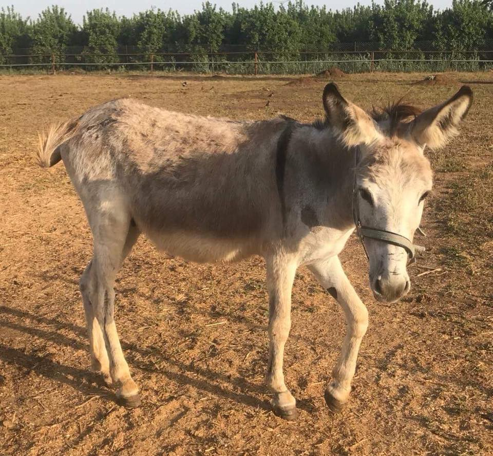 Michael today, a happy, healthy donkey at Lucy's wonderful sanctuary