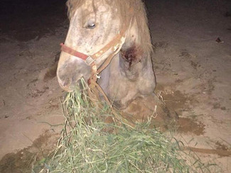 Emergency horse rescue in Tayibe