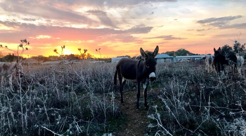 Sunset donkeys