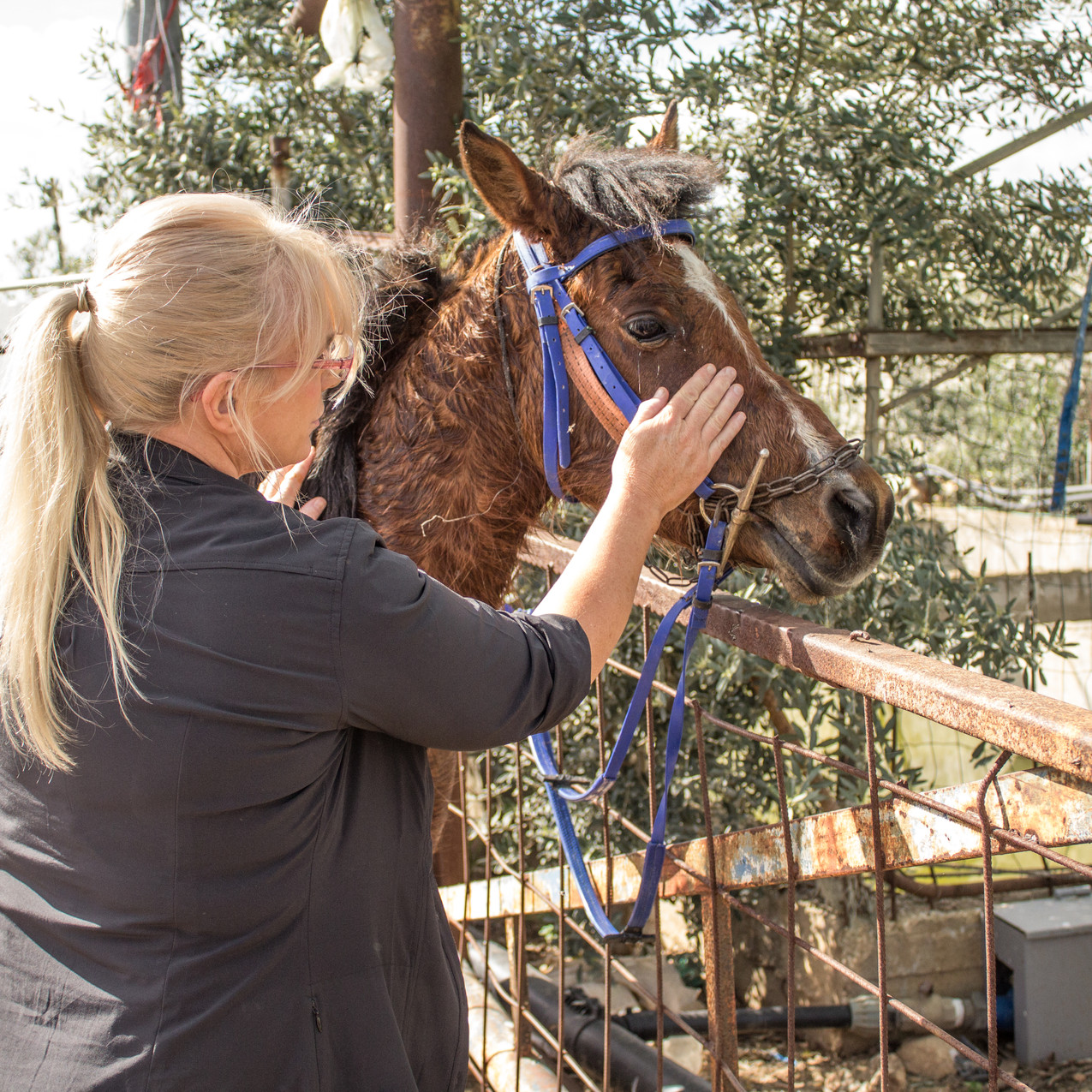 At the outreach clinic in the West Bank: This far too thin horse had been ridden for a very long distance and then was refused water as the owner believed it was better not to let a horse drink for half an hour after riding him...