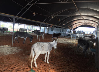 Just in time for Christmas: the donkeys are in their new home!