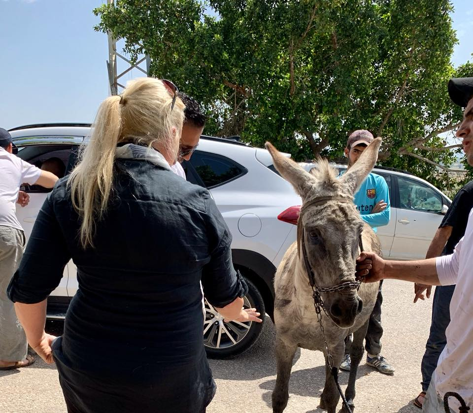 This male donkey had oil rubbed on him as the owner believed it would deter the flies