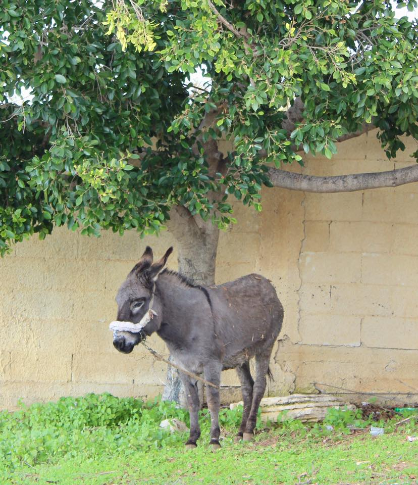A patient little donkey waits under a tree after receiving her care
