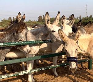 Meeting his new donkey buddies