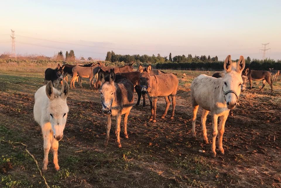 Golden Donkeys