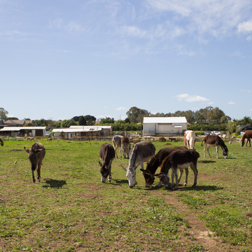 Happy rescue donkeys at Lucy's peaceful sanctuary in Central Israel