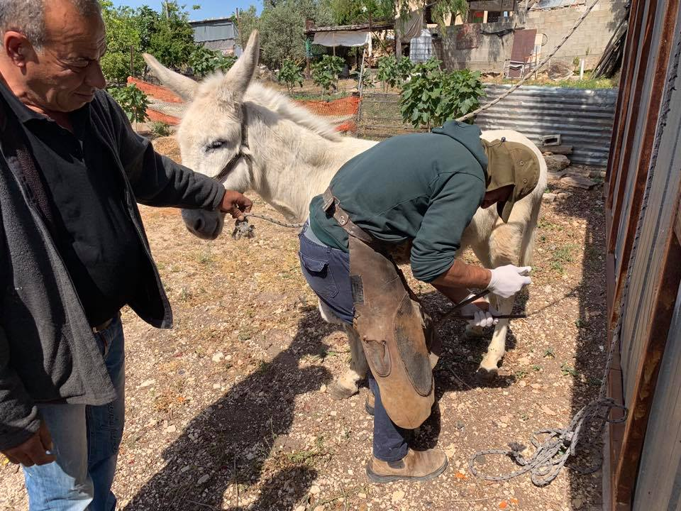 Khaled trimming some hooves
