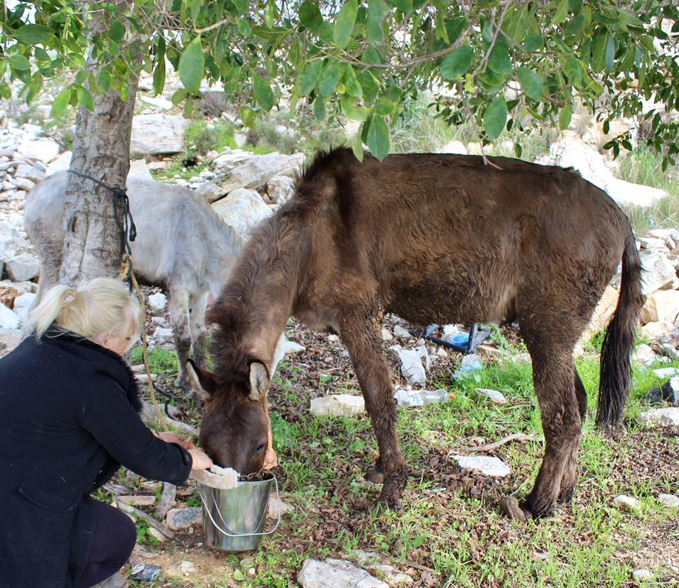 A bucket of carrot treats for this darling brown mule with a deformed left back hoof