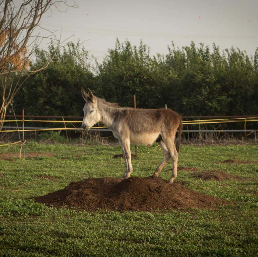 Where there's a hill - no matter how small - there will be a donkey!