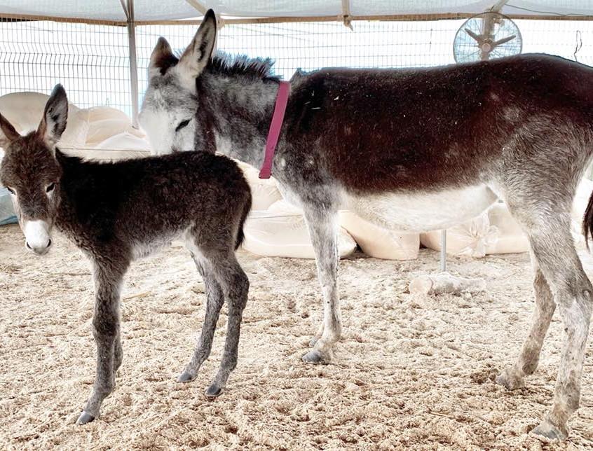 Newborn foal John and his mama Siggi