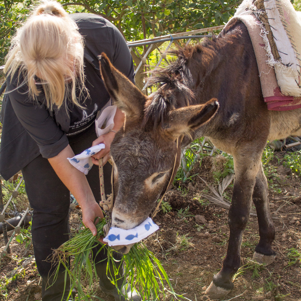 Lucy treating this little working donkey at the outreach clinic in the West Bank to fresh grass and a nose protector..