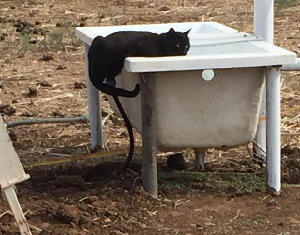 A visiting feral pusscat satiating his thirst...