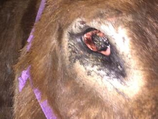 An update on dear Zachariah, the blind donkey