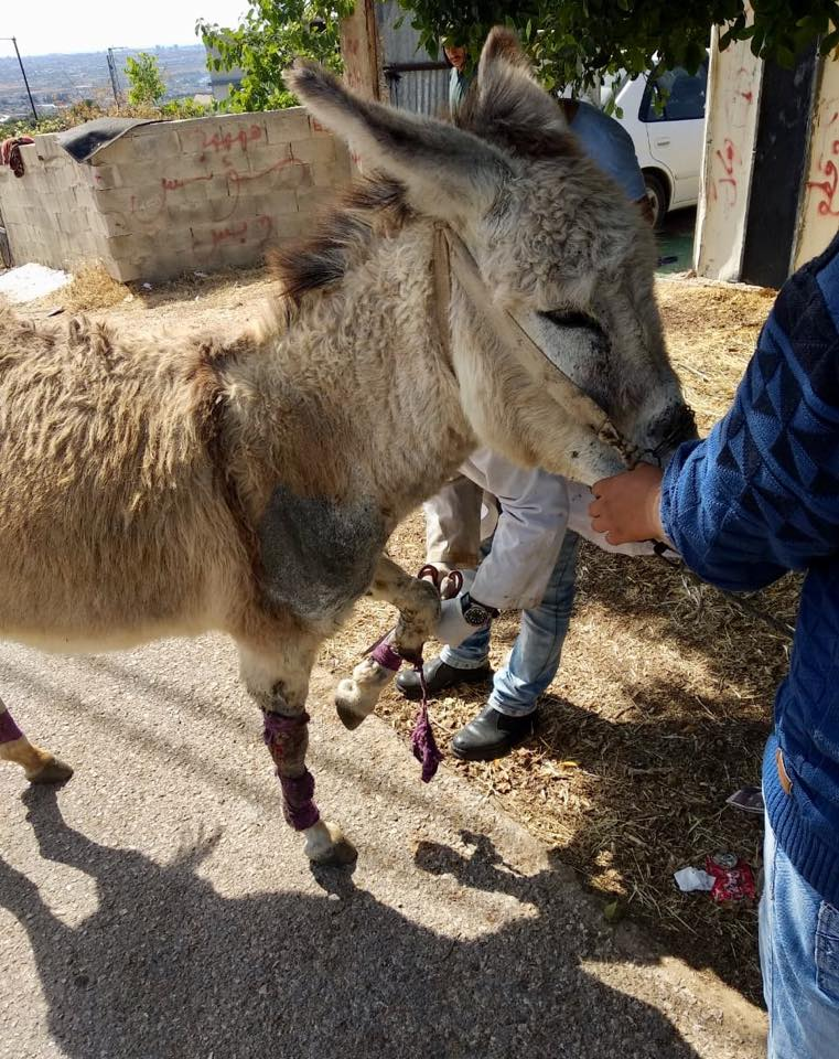 Despite having been given spare bandages and ointments to take home, no home treatment had been given to this donkeys legs