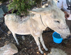 Chico close to where he was first found, here's he's been given fresh water and oats