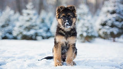 Snow-Pups-by-Kristin-Castenschiold-.jpeg