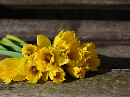 Daffodils for The Canadian Cancer Society: March 22 to March 25th 2018