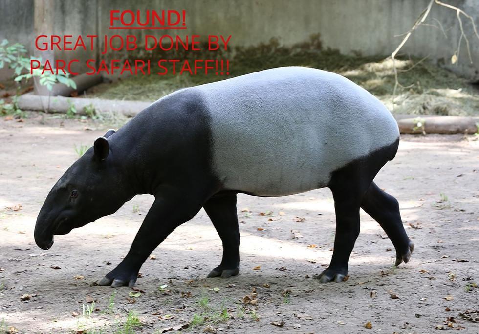 Tapir Escaped Parc Safari in Hemmingford is FOUND!