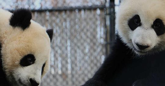 PandaCam Calgary Zoo
