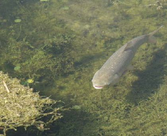 Asian Carp Settling into Quebec Waters: