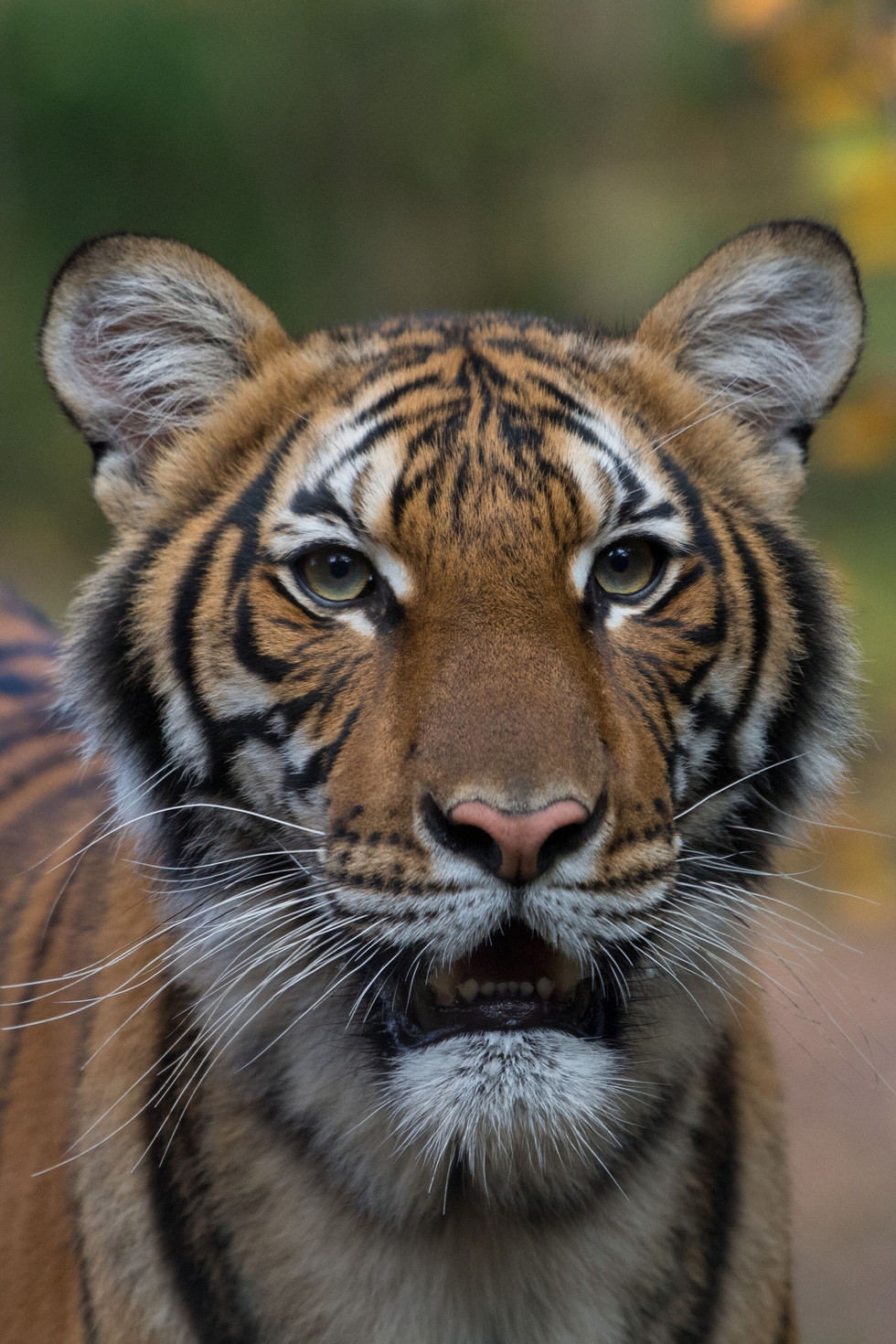 Bronx Zoo Update: Lions and Tigers Recovering from Covid-19