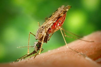 Picture of Mosquito fo pest control