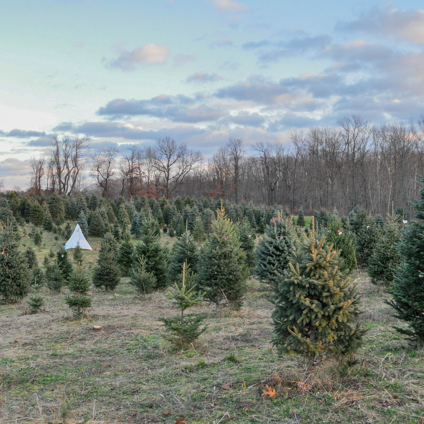 Addison Oaks Christmas Tree Farm