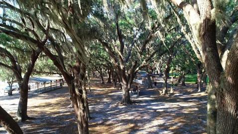 Pristine Oak Trees