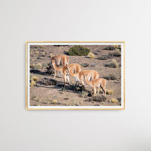 Print Cuatro vicuñas