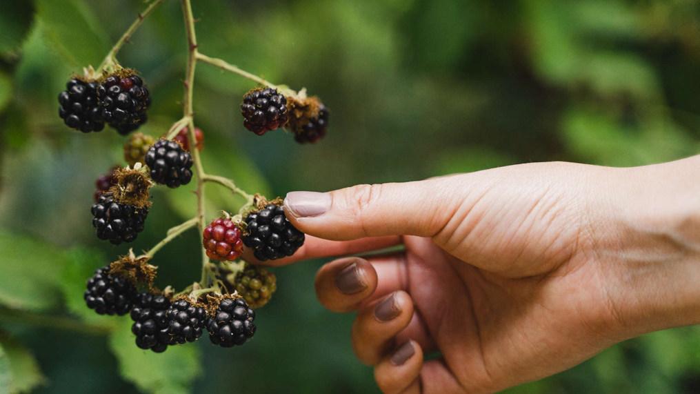 sol-spirit-farm-berries.jpeg
