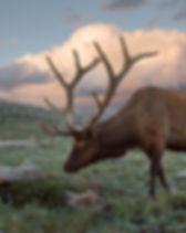 Bull-Elk-Sunset-Colorado.jpg