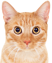 sitting%20orange%20tabby_edited.png